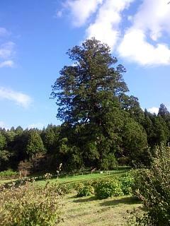 20131028大杉(その1)