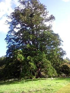20131028大杉(その2)