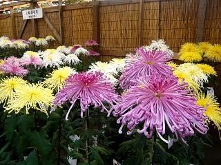 20131109二本松菊人形祭り(その49)