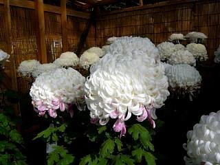 20131109二本松菊人形祭り(その52)