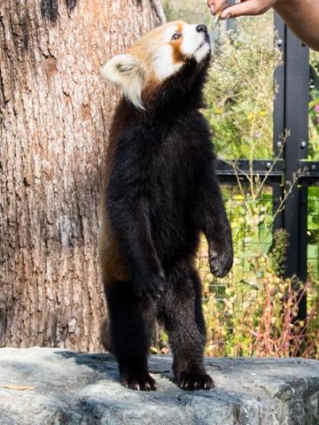 円山動物園のレッサーパンダ、ギン