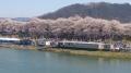 桜祭り会場