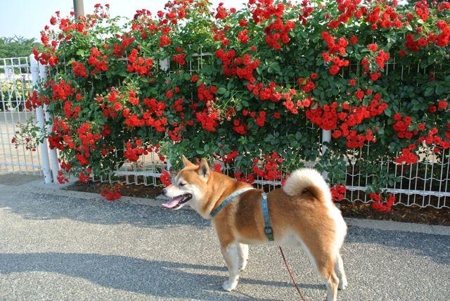 DSC_1902赤い犬とバラ