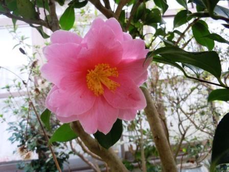 ヤエツバキ1(2014-03-04)