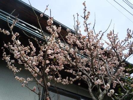 梅(2014-03-07)
