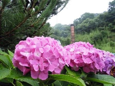 紫陽花1(2014-06-26)