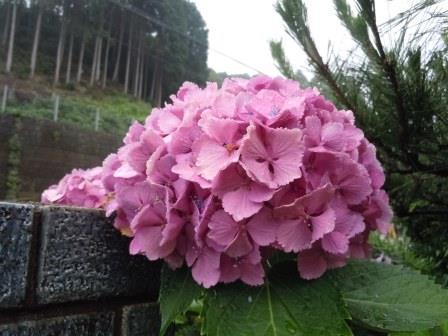 紫陽花2(2014-06-26)