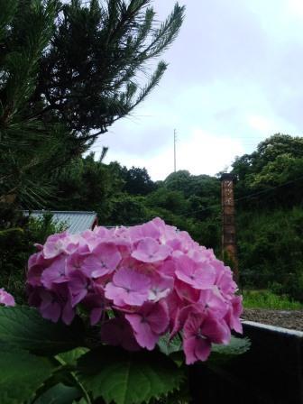 紫陽花3(2014-06-26)