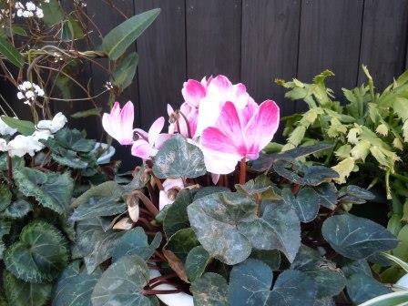 春の花5(シクラメン)
