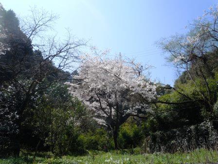 桜4(2014-03-28)