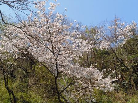 桜5(2014-03-28)