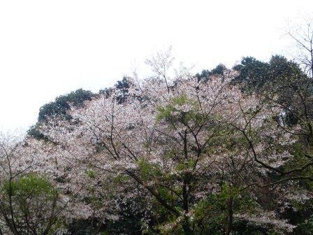 桜2(2014-04-05)