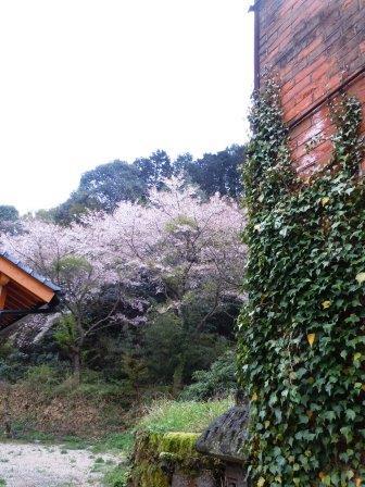 桜3(2014-04-05)