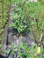 2014,6,22地植えトマト