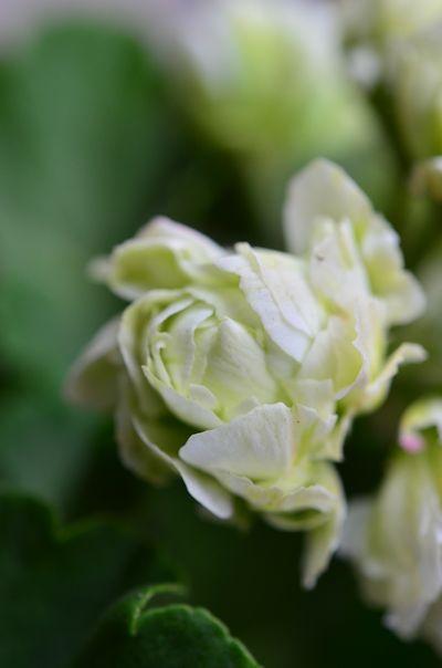 八重咲きゼラニウム グリーンブーケ20140419