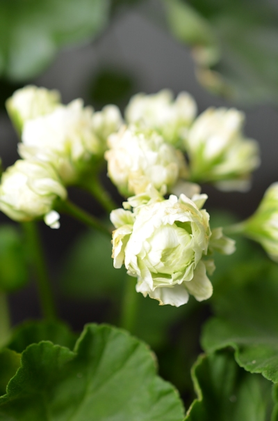 八重咲きゼラニウム グリーンブーケ20140520