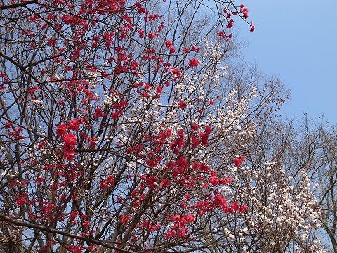 2014-03-12 大宮第二公園の梅 033