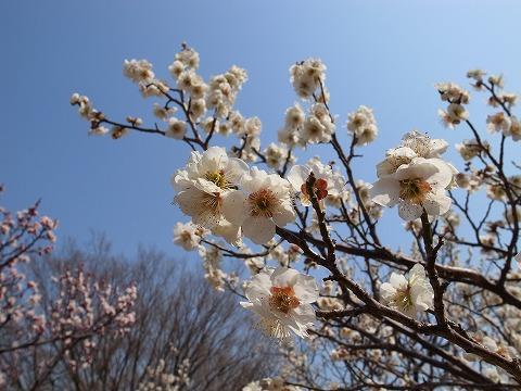 2014-03-12 大宮第二公園の梅 027
