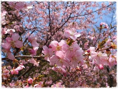2014-03-18 すみよしの里 河津桜 003