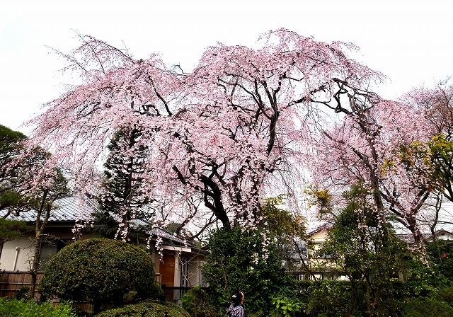 2014-03-26 中院桜 (15)