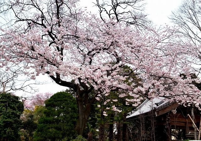 2014-03-26 中院桜 (1)