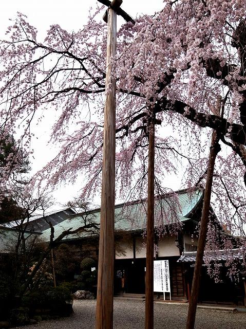 2014-03-26 喜多院 桜 009
