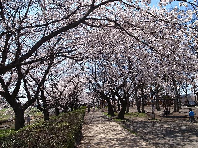 2014-03-31 伊佐沼 桜 006
