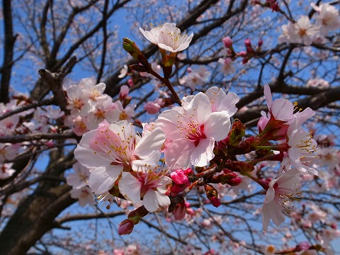 2014-04-09 川越水上公園の桜 044