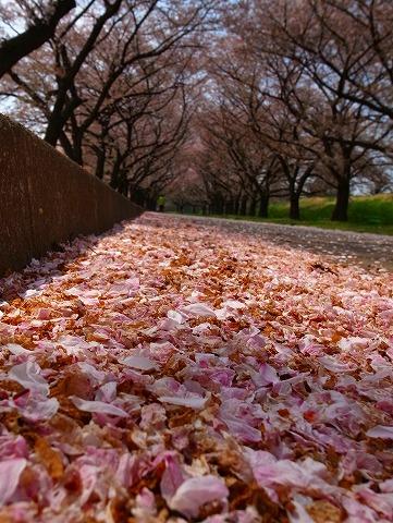 2014-04-09 川越水上公園の桜 016