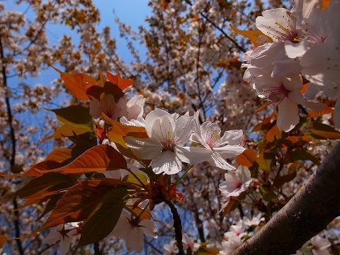 2014-04-09 川越水上公園の桜 021