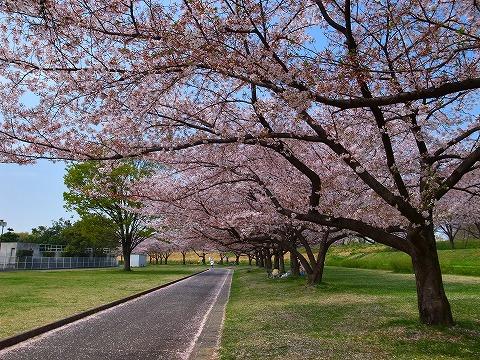 2014-04-09 川越水上公園の桜 012