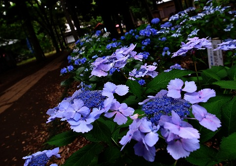 2014-06-25 指扇氷川神社 紫陽花 005