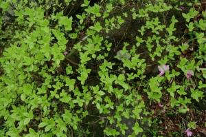 低木の新緑