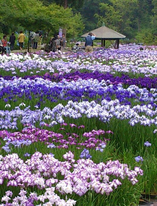 DSC_0402-1-1山崎菖蒲園