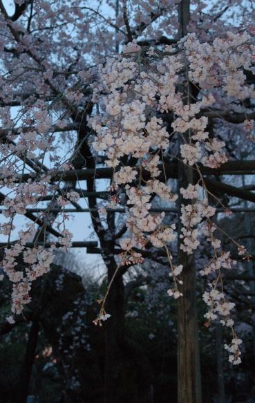 【写真で散歩】宇都宮「祥雲寺のしだれ桜」