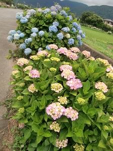 岡野の紫陽花1