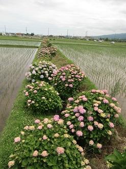 岡野の紫陽花3