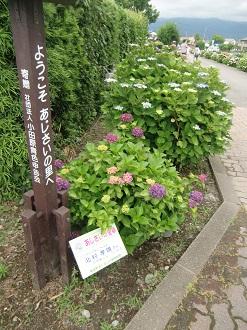 紫陽花の里4