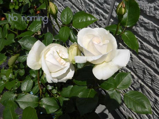 rose-164.jpg