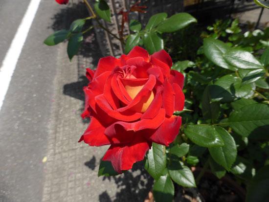 rose-168.jpg