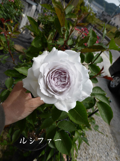rose-204.jpg