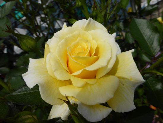 rose-234.jpg