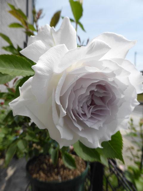 rose-248.jpg