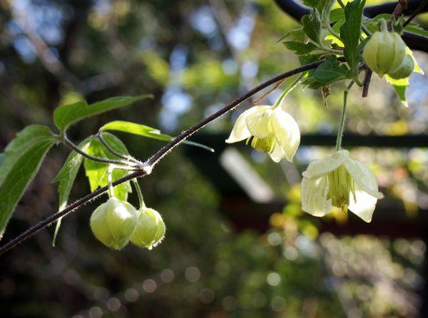 4,22白花ハンショウヅル