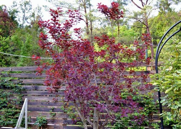 5,6銅葉スモークツリー