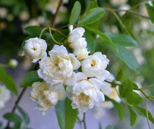 5,14白花モッコウバラ-4jpg