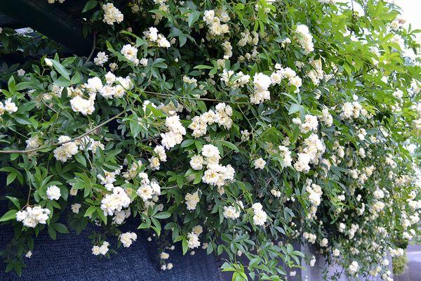 5,14白花モッコウバラ-2