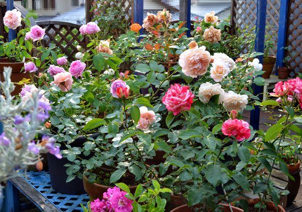 5,28ベランダのバラ