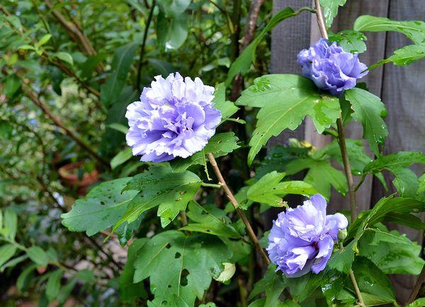 8,18紫玉