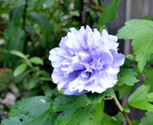 8,18紫玉-2